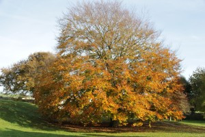 Beech in the Priory grounds, Lewes