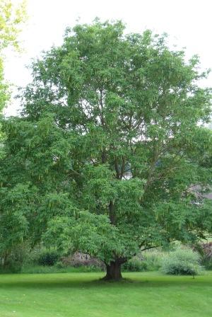 Pterocarpa x rehderiana, Wingnut tree