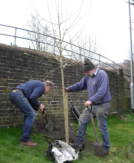 Planting Field Maple in Lewes