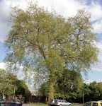 London Plane at Southover School, Lewes