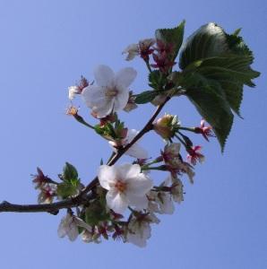 Prunus Umineko planted in Lewes