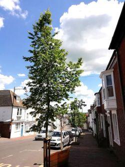 Four elms on St Anne's Hill, Lewes
